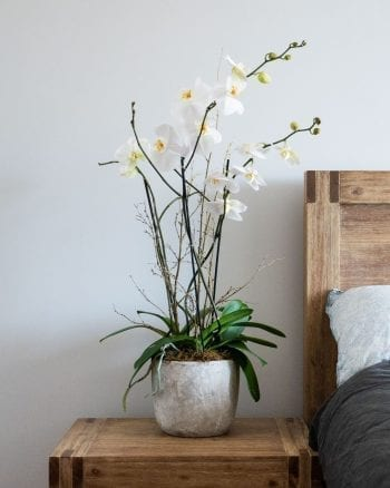 Potted Phalaenopsis Orchid-1