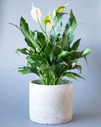 Peace Lily-1